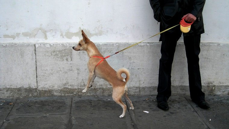 A small dog on a sidewalk pulls on a retractable leash being held by a human in black clothes.