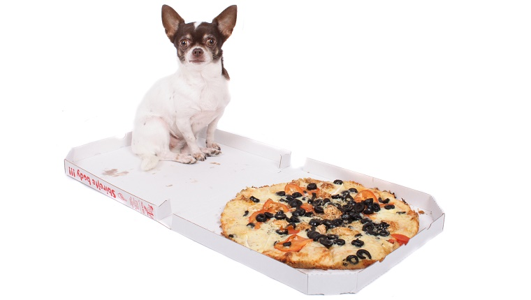 A small Chihuahua sits in a pizza box next to a pizza.