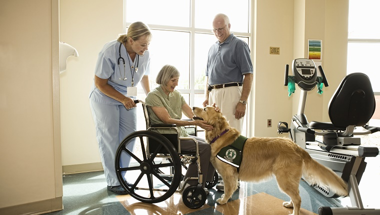 A Golden Retriever therapy dog visits a woman in a wheelchair at the hospital.