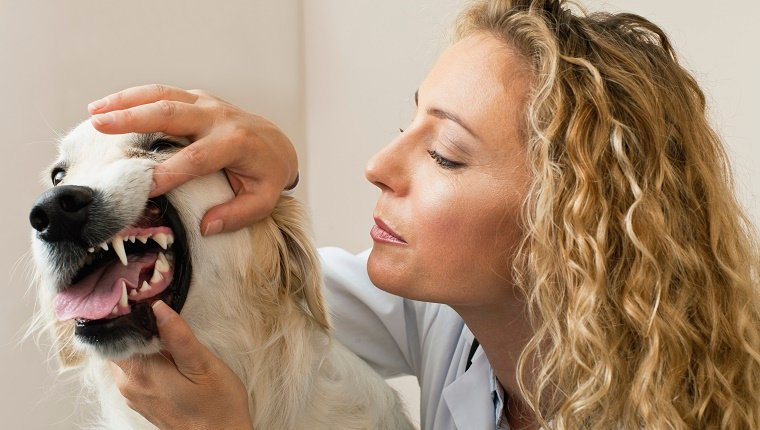 A woman inspects the teeth of a Golden Retriever.