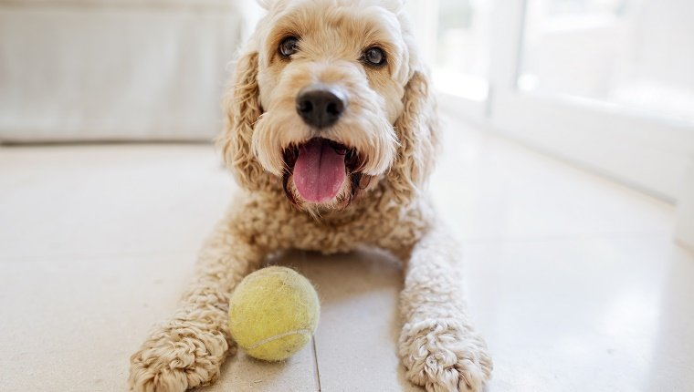 A small dog with curly hair lies in front of a tennis ball on the floor.