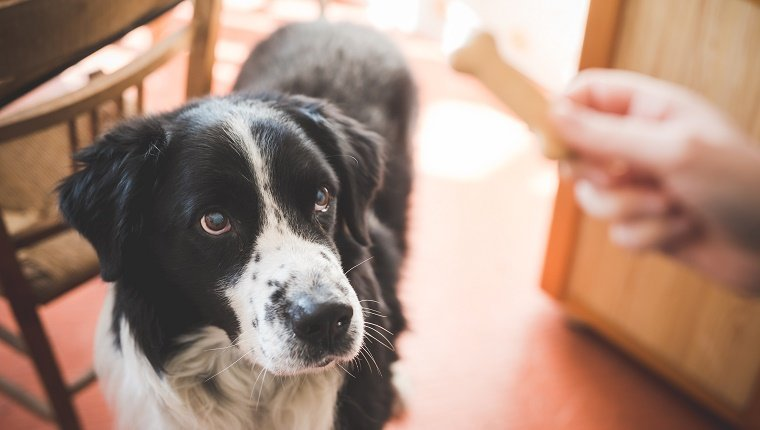 A Border Collie looks up at a bone in his owner's hand.