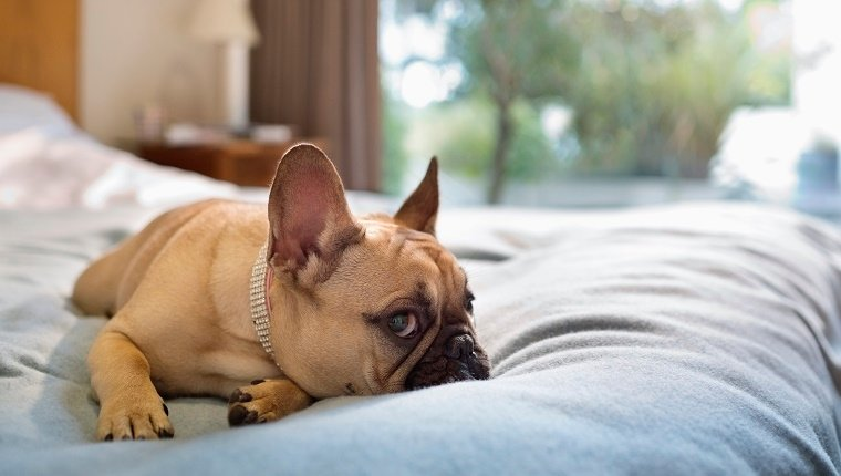 A French Bulldog lies on a bed in a bedroom.