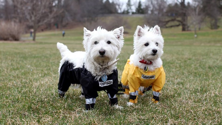 Two West Highland Terriers stand in a grassy field with waders on.