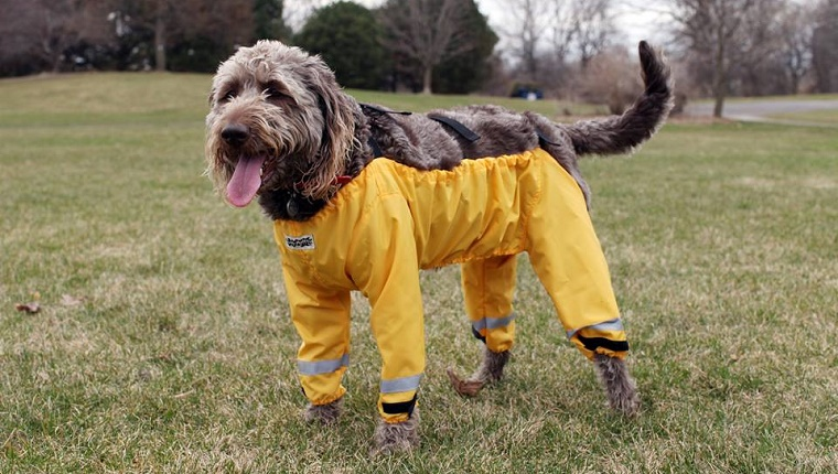 A brown dog stands in a grassy field with yellow waders covering all four legs.