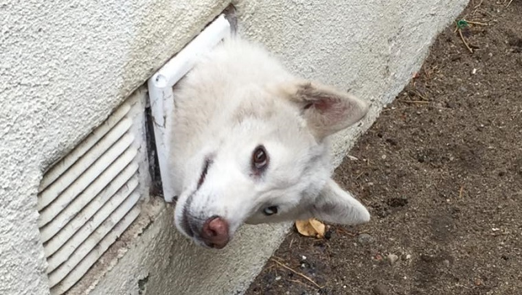 A white Siberian Husky's head sticks out of a dryer vent .