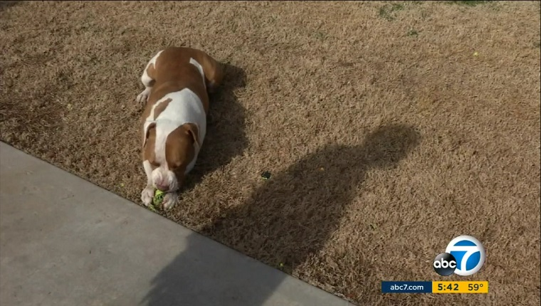 Droggie the Pit Bull lies in the grass by his owner's shadow, chewing a tennis ball.