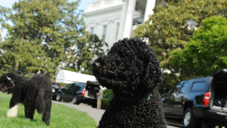 Sunny sits in front of the White House while Bo walks on the grass in the background.