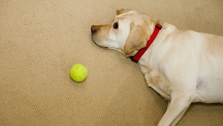 A Labrador Retriever lies on the floor next to a tennis ball.