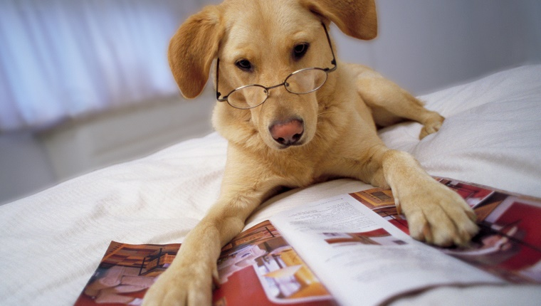 Dog wearing spectacles lying on bed with paws on magazine