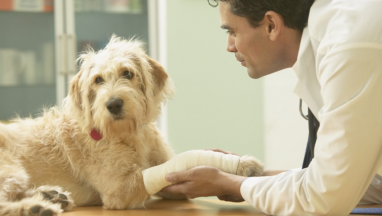 A veterinarian touches a cast on a dog's leg.