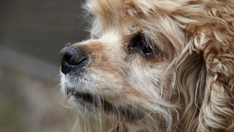 Close-up of an American Cocker Spaniel snout with mosquito sitting on it and sucking blood