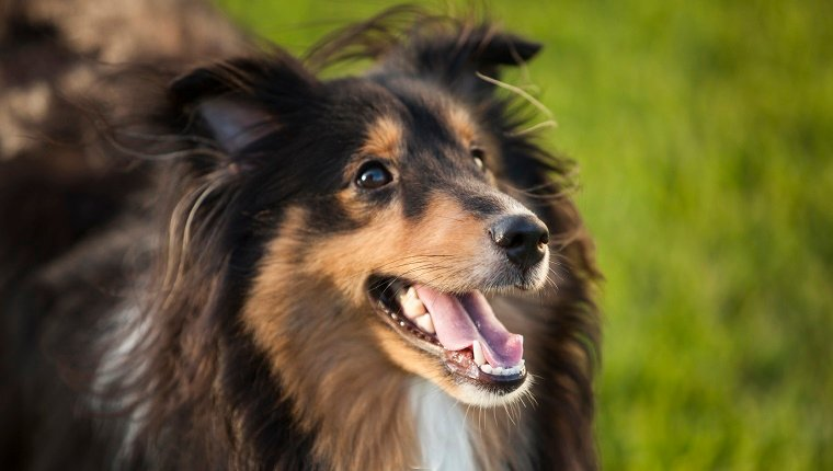 A Shetland Sheepdog stands in a grass field with its mouth open.