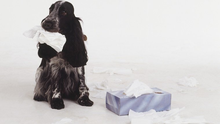 Black and white Cocker Spaniel pulling tissues from a box with one in its mouth.