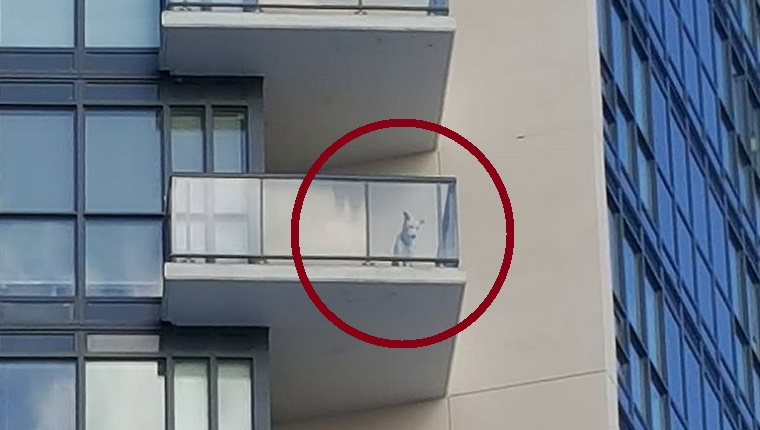 A dog stands on a balcony looking down.