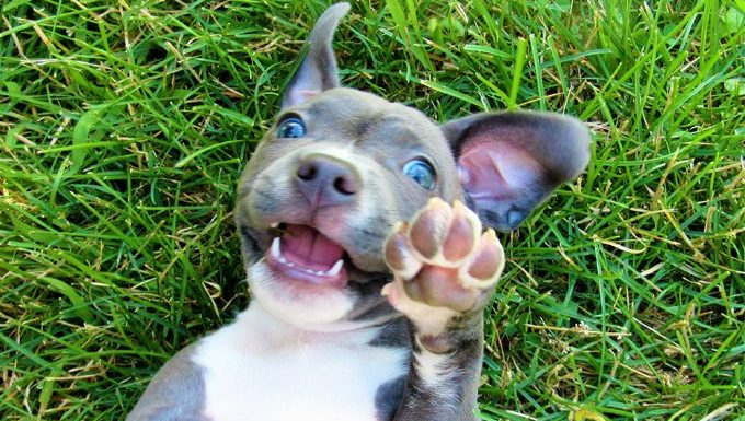 pit bull puppy on national puppy day