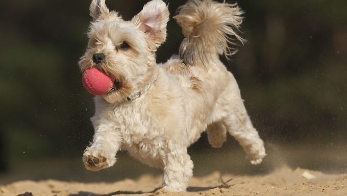 dog with ball running on sand