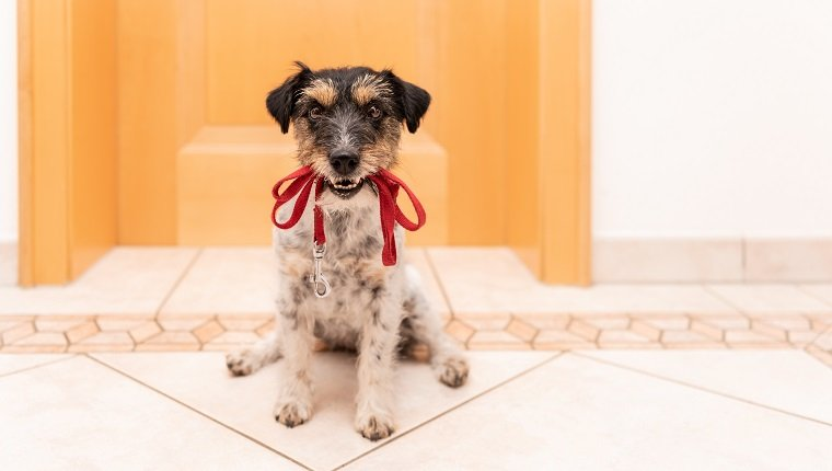 Jack Russell Terrier 3 years old - little dog is holding a leash and waiting for the walk