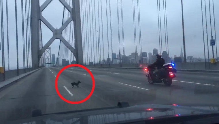 A Chihuahua runs from an officer on a motorcycle on the Bay Bridge