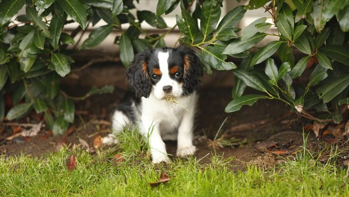 cavalier king charles spaniel puppy in the grass who needs the best name