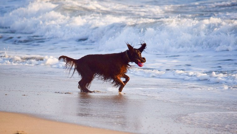 Irish Setter Carrying Ball In Mouth While Running At Beach