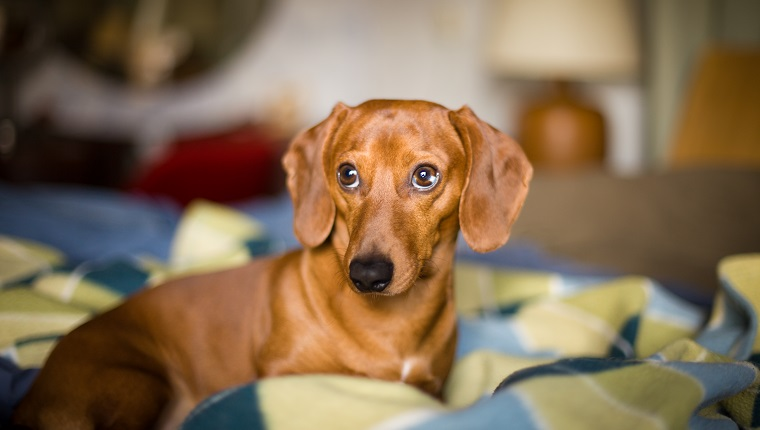 Cute dachshund dog laying down on a bed in a bedroom.