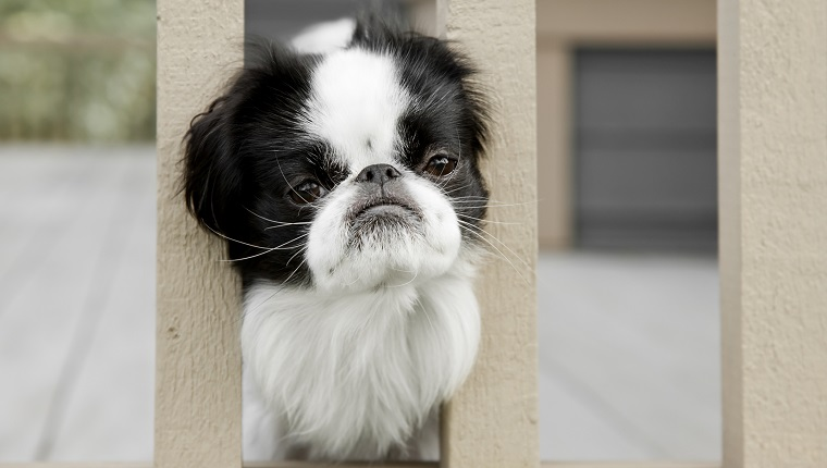 Photo of a Japanese Chin dog poking her head between a fence railing with a sad look on her face, as if asking to let her out to play.