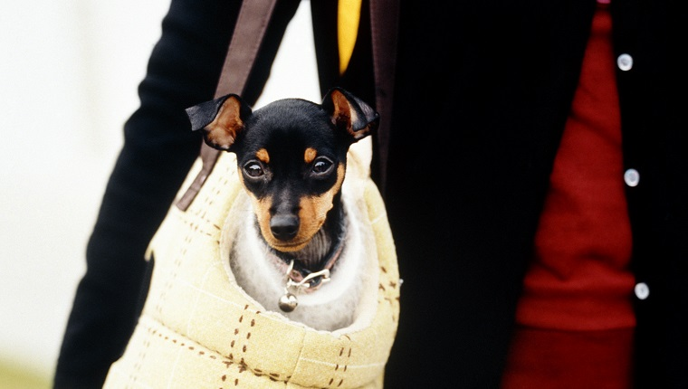 Little dog in carrying bag