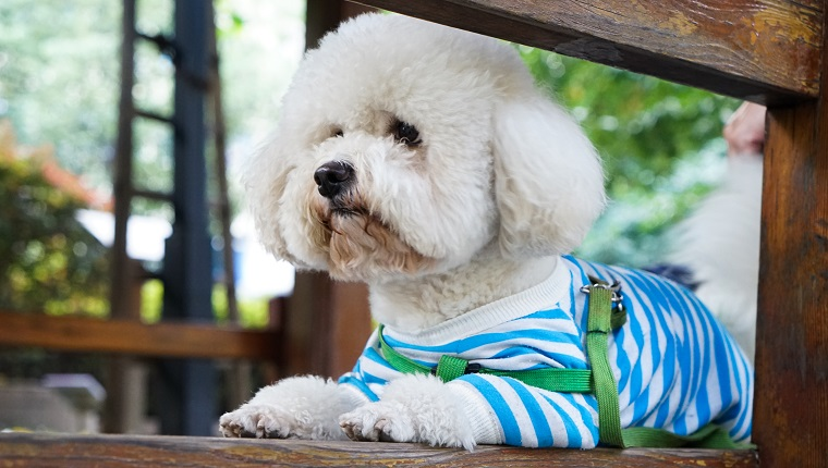 Close-Up Of White Bichon Frise Relaxing On Bench