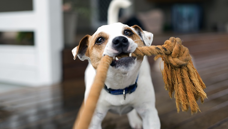 Fox terrier dog tugging the rope playing