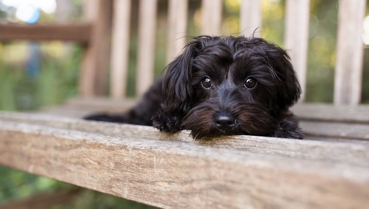 A Yorkipoo dog lays down on a bench outdoors.