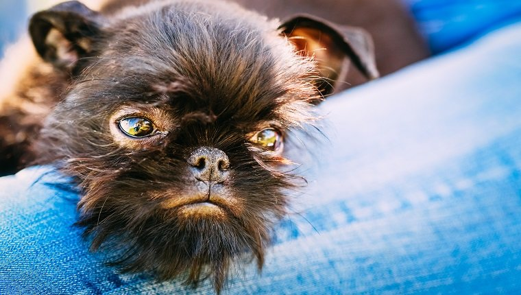 Close Up Black Dog Griffon Bruxellois (Brussels Griffon, Griffon Belge) Sleeping On Womans Lap
