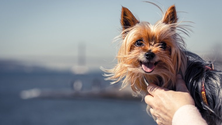 "The main subject is a Yorkshire Terrier being held by his owner, in the blurred background we can distinguish the river and bridge ""Vasco da Gama"" in Lisbon - Portugal."