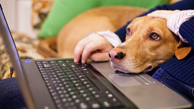 Peron using laptop and dog head on laptop watching screen intently.