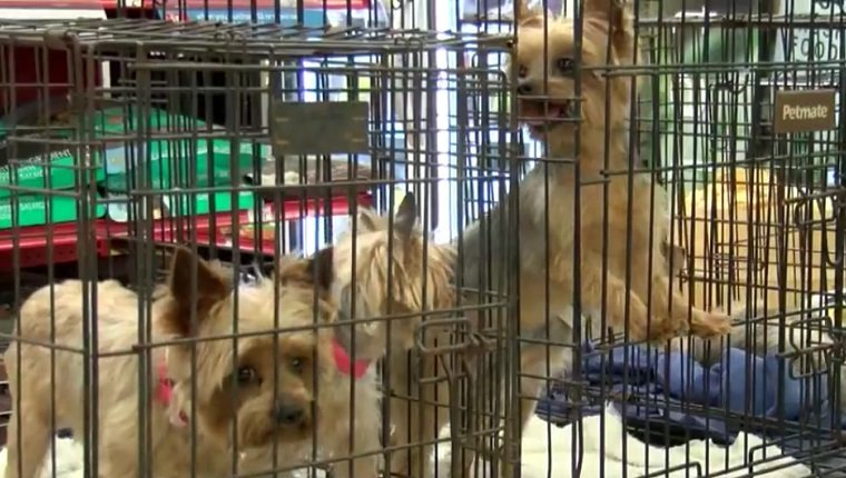 Yorkies sit in cages