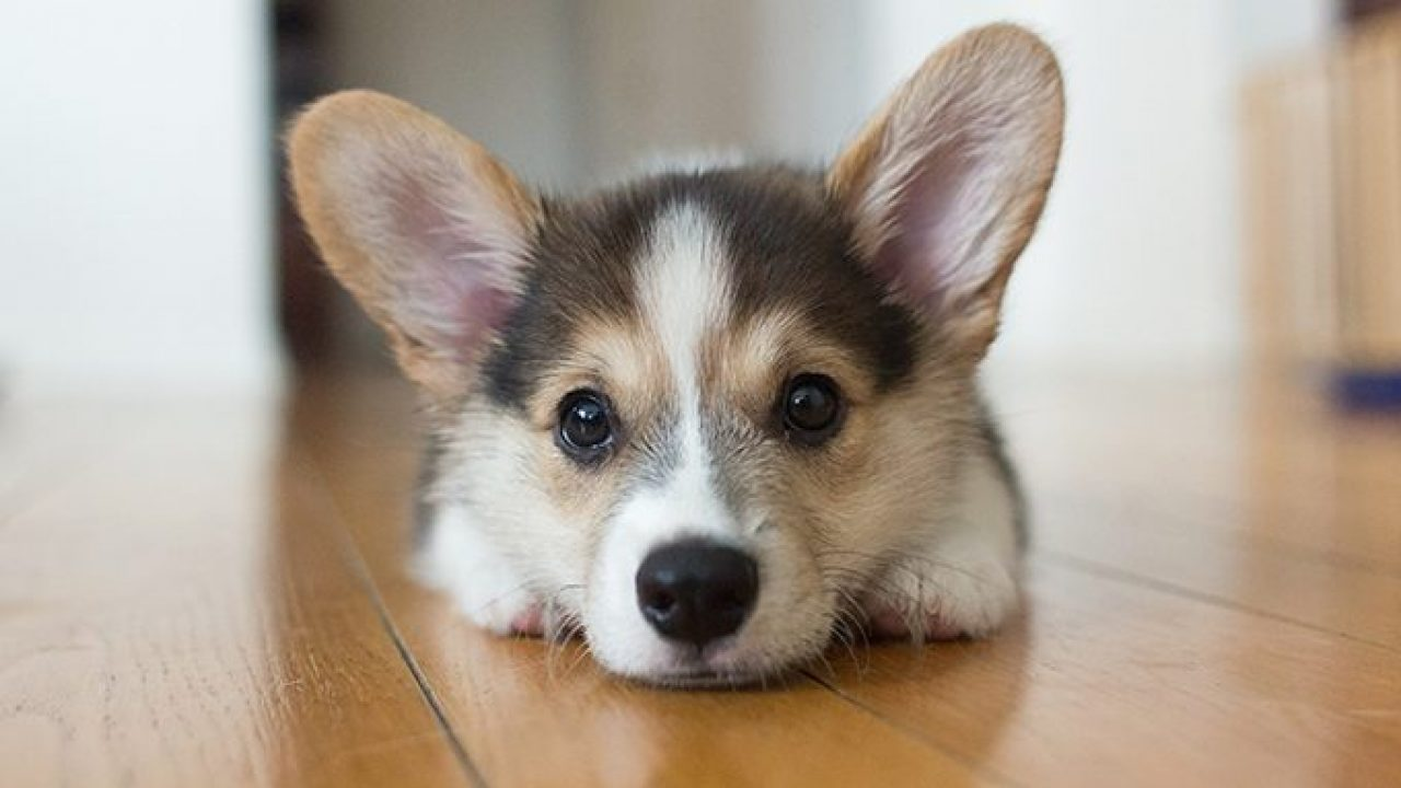 Corgi Puppies Cute Pictures And Facts Dogtime