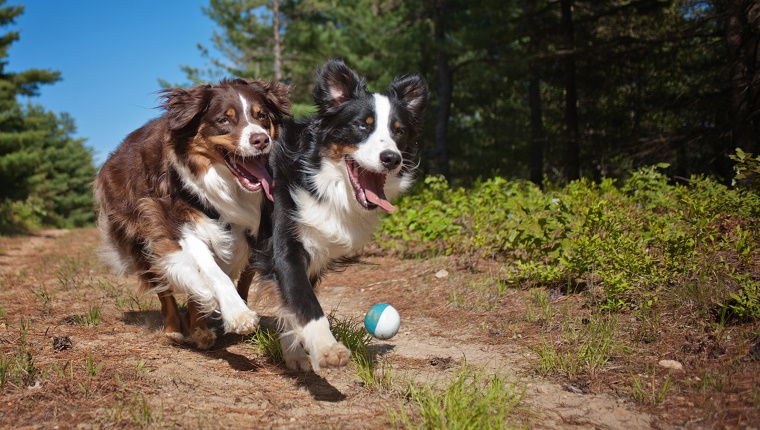 Two Australian Shepherd dogs playing ball in the forest on a sunny day.