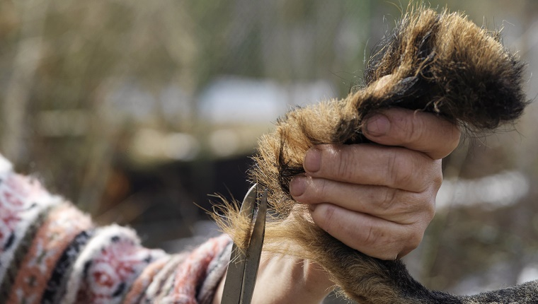 "Hand of a groomer with scissors holding a dog""s tail, outdoor cropped shot"