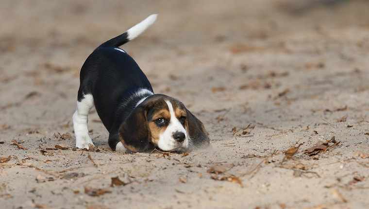 I wanna play ... this 8 weeks young Beagle said.A puppy with a waggy tail on yellow sand.
