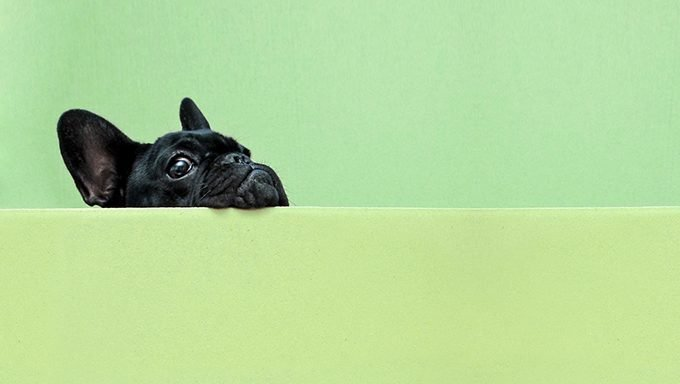 french bulldog looking over green wall