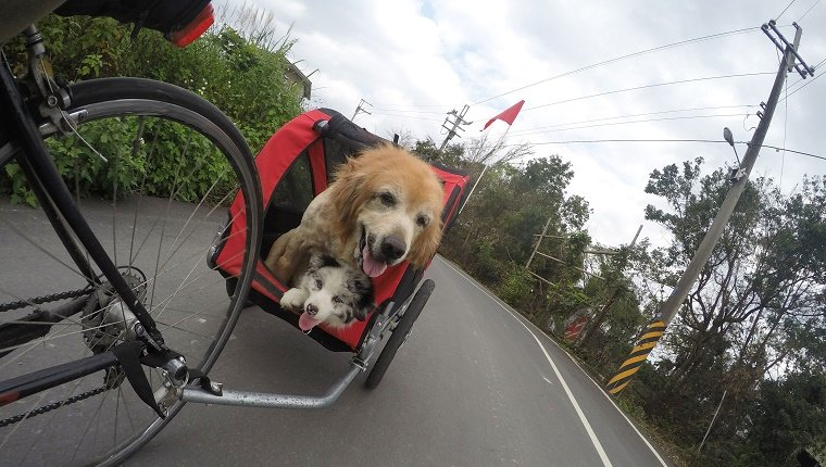 Dogs On Cart Connected To Bicycle