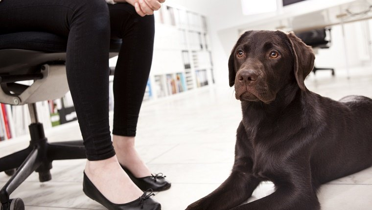 Labrador Retriever lying on the floor in the office besides owner