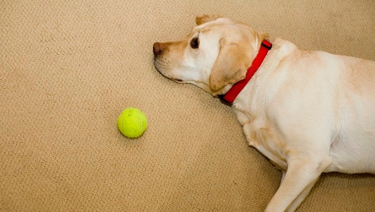 Dog resting on floor by tennis ball