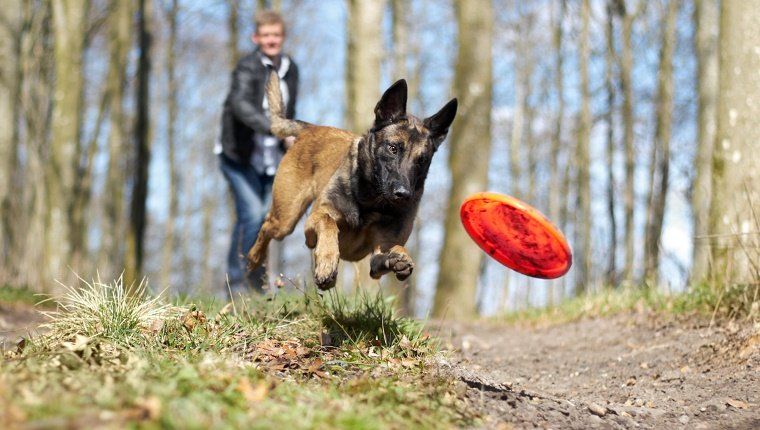 An Alsatian chasing a frisbee thrown by his owner in the forest