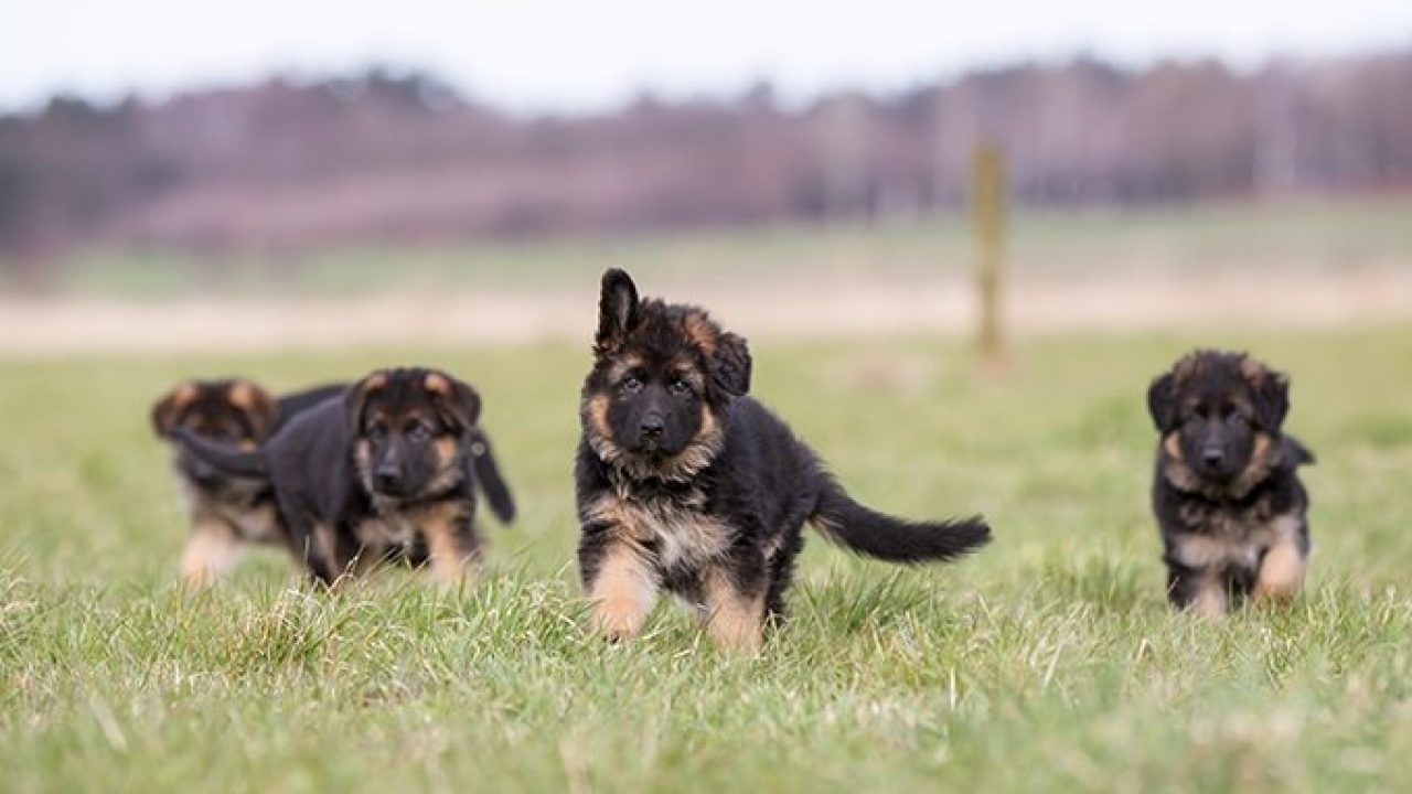 German Shepherd Puppies Cute Pictures And Facts Dogtime