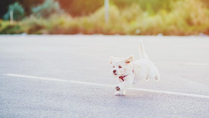 maltese puppy running and jumping on street