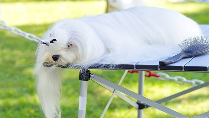 maltese with long hair getting groomed