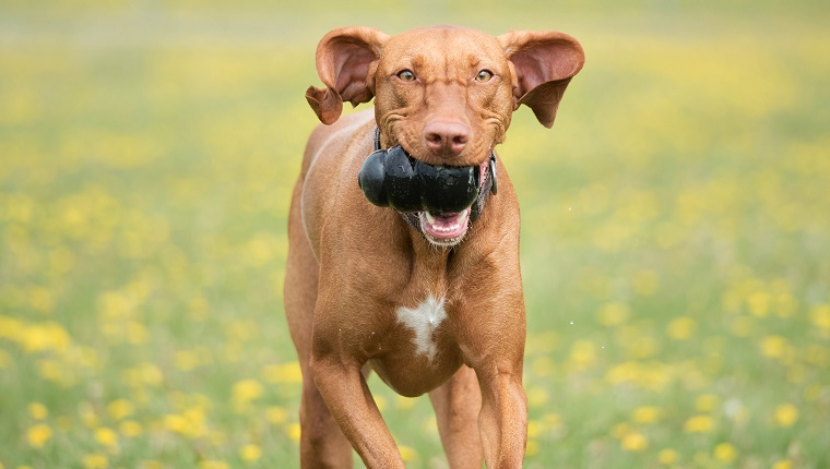 A purebred Vizsla has fun with her favourite toy, her Kong.
