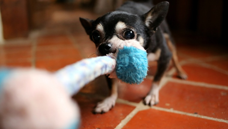 Chihuahua dog tugging rope toy