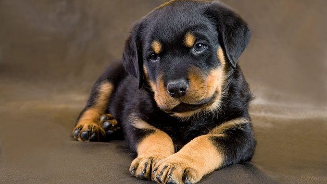 Rottweiler Puppies Cute Pictures And Facts Dogtime